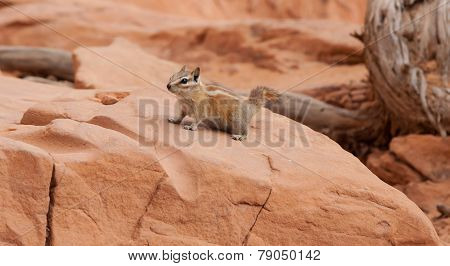 Desert Squirrel