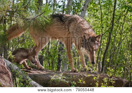 Grey Wolf (canis Lupus) And Pup Walk Onto Rock