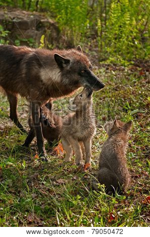 Grey Wolf Pups (canis Lupus) Licks Mother While Another Pup Watches