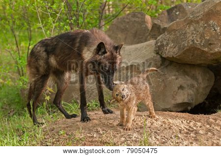 Black Wolf (canis Lupus) Stands By As Pup Shakes Off