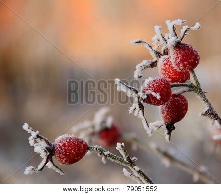 Frosty Rose Hips In Sunlight on a winter day