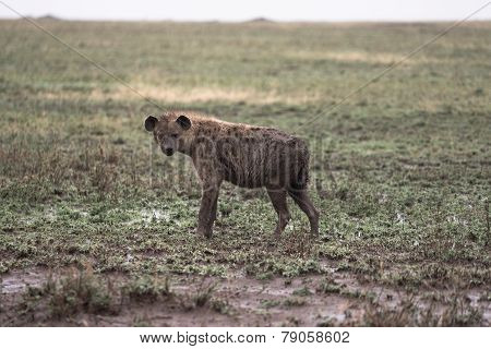 Rain Soaked Hyena