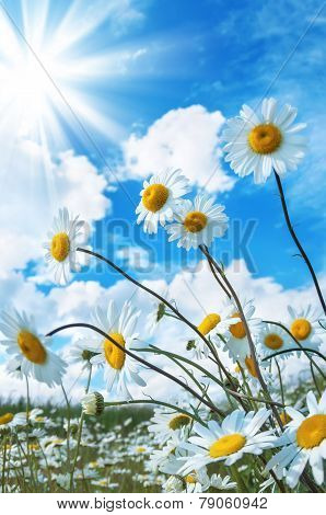Beautiful daisies in the sun