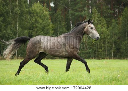 Gray Horse Running Free At The Field