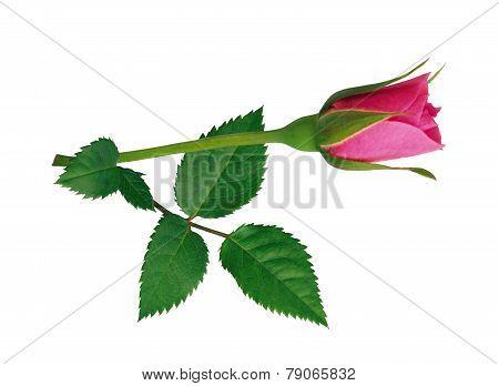 Pink flower rose.