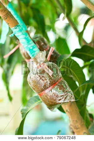Plant Mango Trees Transplants Or Grafting Method.
