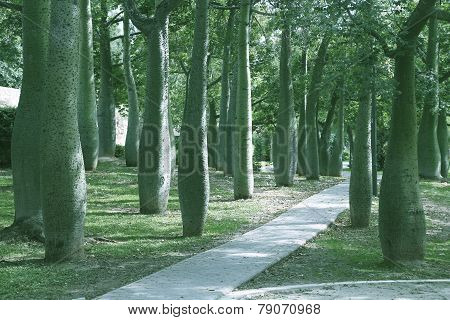 Silk Floss Trees In Valencia