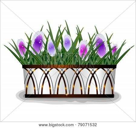 Beautiful Spring Crocus Flowers In The White Pot With Bronze Designs