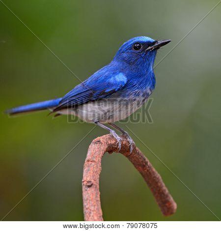 Hainan Blue Flycatcher Bird