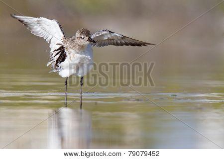 black bellied plover streching his wings