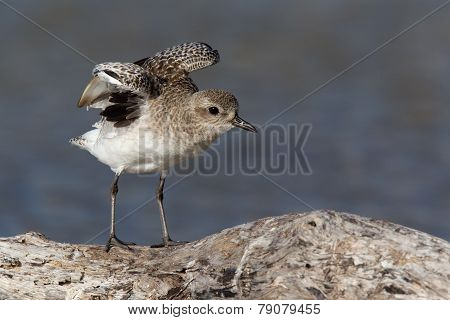 black-bellied plover streching on branch.