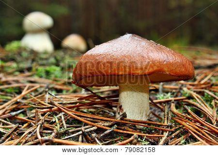 Mushrooms Edible