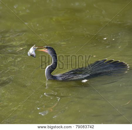 Anhinga Downing A Fish In Wetland Pond