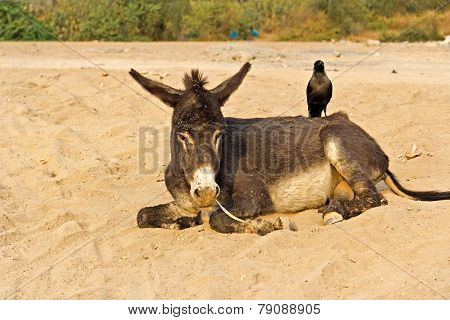 Donkey And Crow