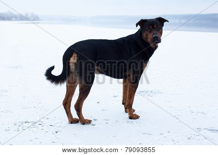 Homeless Dog On The Frozen Lake Surface In Winter