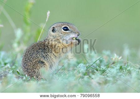European ground squirrel (Spermophilus citellus) - juvenile