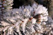 picture of conifers  - Beautiful winter landscape - JPG