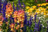 image of daisy flower  - Shallow focus on a beautiful summer flower garden of Snapdragons - JPG