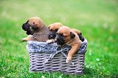 stock photo of belgian shepherd  - young puppies belgian shepherd malinois in box - JPG