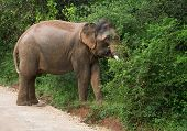 picture of tusks  - Male Sri Lankan elephant with tusks walking on dirt road and grazing in foliage in Yala National Park Sri Lanka Southern Province Asia - JPG