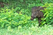 stock photo of boar  - Wild Boar Peeping Out From Behind A Bush in Yala National Park Sri Lanka Southern Province Asia - JPG