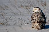 stock photo of snowy owl  - Snowy Owl in the winter in Wisconsin - JPG