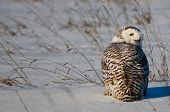 picture of snow owl  - Snowy Owl in the snow in winter.