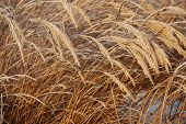 picture of tall grass  - Frosty tall grass in sunlight in winter - JPG