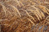image of tall grass  - Frosty tall grass in sunlight in winter - JPG
