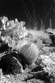 foto of ocotillo  - Infrared photo of plants in the desert - JPG