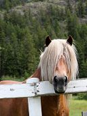 picture of nostril  - A long haired horse peeks over the fence - JPG