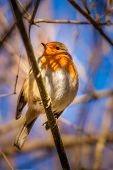 stock photo of robin bird  - Small robin bird sitting on the branch of a tree - JPG