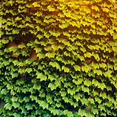 picture of ivy  - Ivy  - JPG