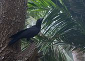 pic of raven  - Black raven in tropical tree Southern Province Sri Lanka Asia - JPG