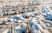 stock photo of maize  - Rows of maize stubble in the snow on a cold and sunny winter day - JPG