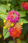 stock photo of lantana  - Macro of pink and yellow lantana camara flower - JPG
