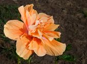 stock photo of hibiscus  - Bright orange flower on a hibiscus plant in the yard - JPG