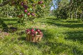 foto of apple orchard  - A basket of freshly picked apples in the orchard - JPG