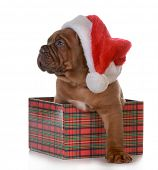 foto of dogue de bordeaux  - christmas puppy  - JPG
