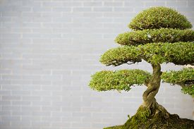 pic of bonsai tree  - bonsai tree in flower pot with copy space - JPG