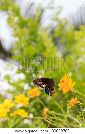 The Chinese Peacock Butterfly Feeding On Yellow Flower