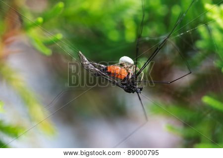 A Tiny Spider Eating Its Prey On The Web