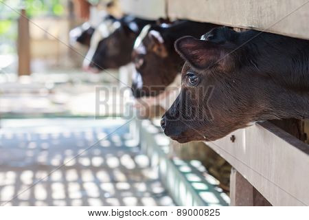 Four Identical Calves Standing Together