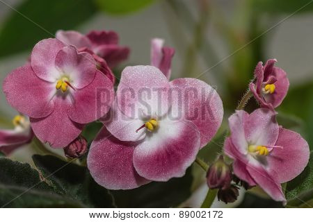 Dark Red Flowers Violet