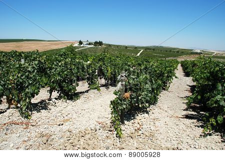 Vineyards, Jerez de la Frontera.