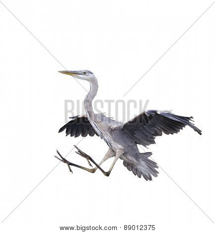 Great Blue Heron Isolated On White Background