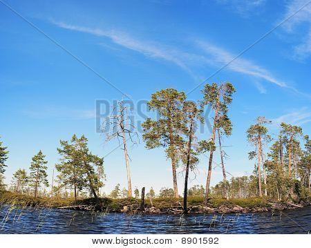 Pines On Northern Lake Coast