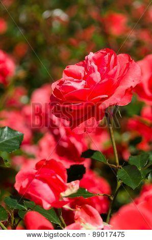 Bright Red Rose Bush