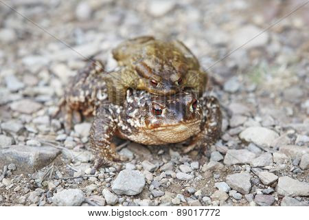 Female And Male Toads Breeding On The Ground, Spain