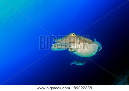 Pair Of Cuttlefish